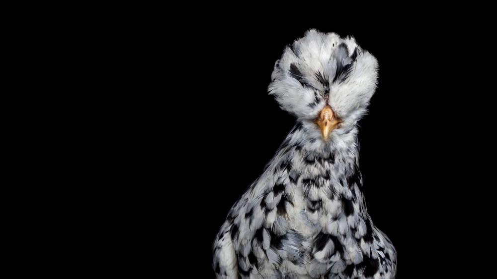 Ernest-Goh-Chicken01