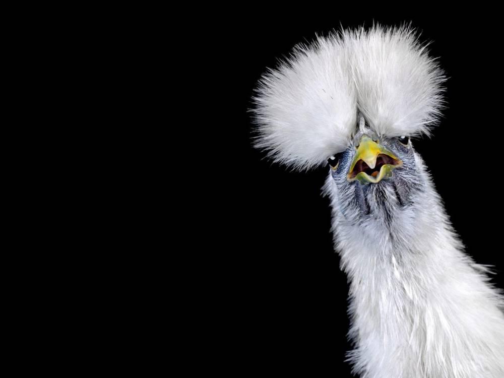 Ernest-Goh-Chicken03