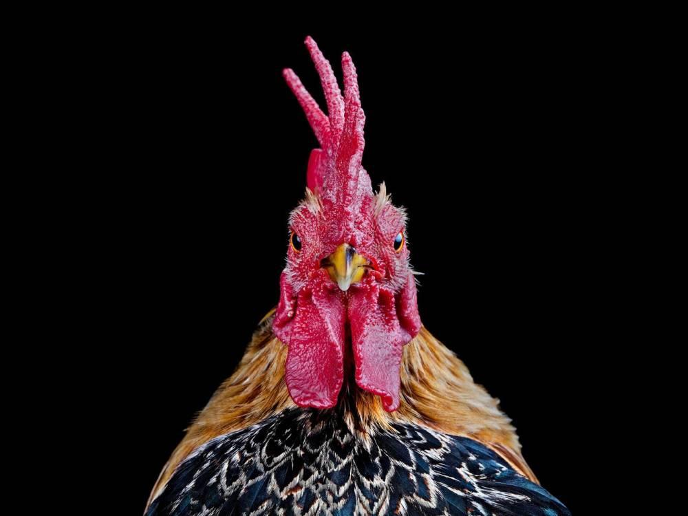 Ernest-Goh-Chicken02