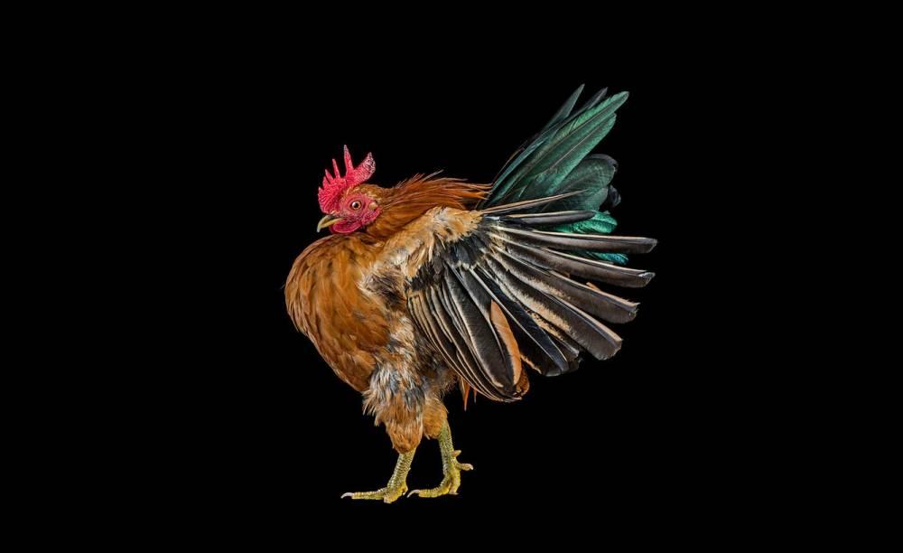 Ernest-Goh-Chicken04