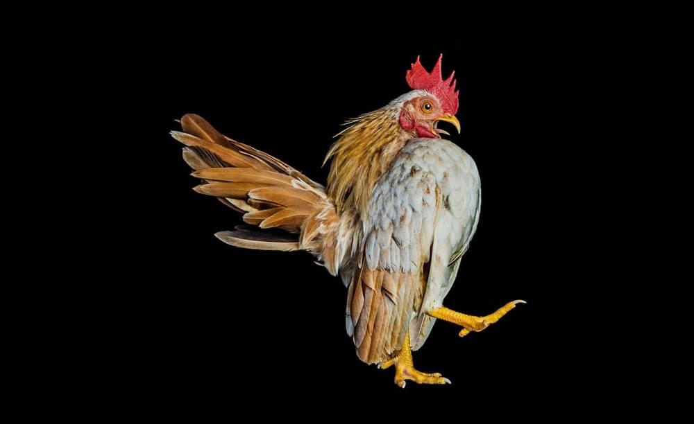 Ernest-Goh-Chicken05